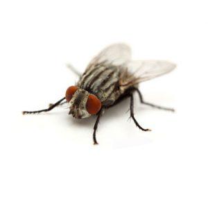 Vliegen en wespen